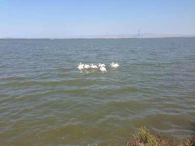 The pelicans @ Bay Trail - Baylands.
